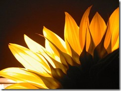 sun-flower-yellow-pretty-2